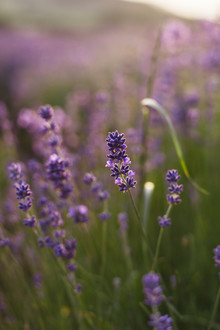 Nadja Jacke, Blossoming lavender in the summer sun (Germany, Europe)