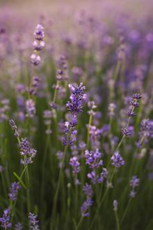 Nadja Jacke, Blühender Lavendel in der Sommersonne (Deutschland, Europa)
