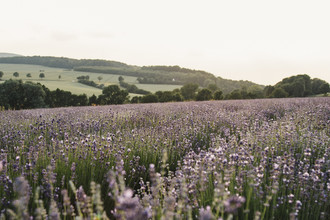 Nadja Jacke, Blühendes Lavendelfeld in Ostwestfalen (Deutschland, Europa)