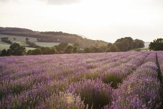 Nadja Jacke, blooming lavender field in East Westphalia (Germany, Europe)