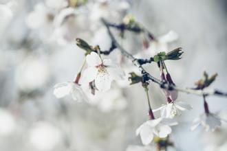 Nadja Jacke, white cherry blossoms on branch (Germany, Europe)