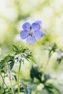 Nadja Jacke, Cranesbill Geranium in the summer sun (Germany, Europe)
