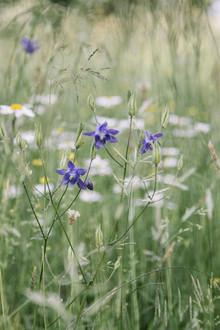 Nadja Jacke, Purple Columbines in summer flower meadow (Germany, Europe)
