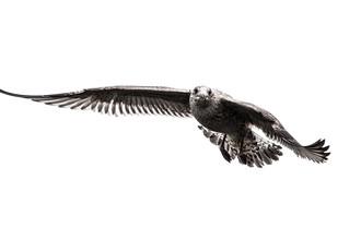 Sebastian Worm, Herring Gull (Norway, Europe)
