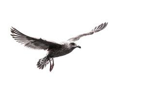 Sebastian Worm, The Seagull (Norway, Europe)