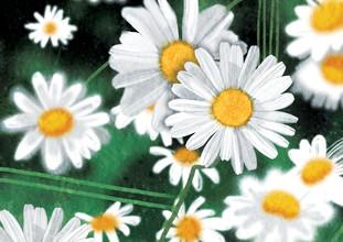 Katherine Blower, daisies (Großbritannien, Europa)