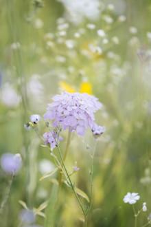 Nadja Jacke, Sommerblumenwiese mit Wildblumen (Deutschland, Europa)