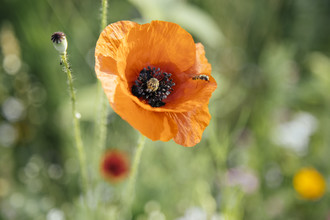 Nadja Jacke, Poppy flower with hoverfly in the summer sun (Germany, Europe)