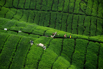 Teeplantage in Malaysia - Fineart photography by Martin Erichsen