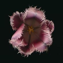Ramona Reimann, Tulip (Germany, Europe)