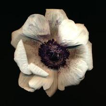 Anemone - fotokunst von Ramona Reimann