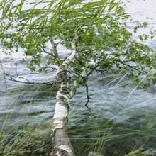 Nadja Jacke, Birke über dem Steinhuder Meer mit Gras (Deutschland, Europa)
