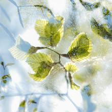 Nadja Jacke, Double exposure with tender beech leaves (Germany, Europe)