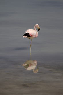 Dirk Heckmann, James-Flamingo (Bolivia, Latin America and Caribbean)