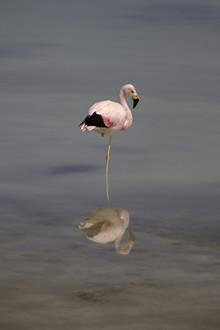 Dirk Heckmann, James-Flamingo (Bolivien, Lateinamerika und die Karibik)
