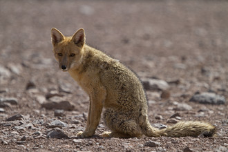 Dirk Heckmann, Andean fox (Bolivia, Latin America and Caribbean)