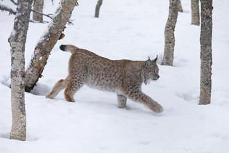 Dirk Heckmann, Lynx in winter landscape (Norway, Europe)