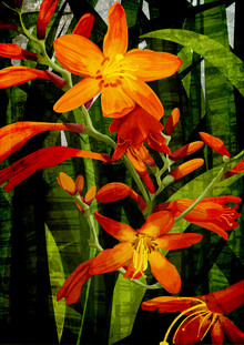 Katherine Blower, Crocosmia (United Kingdom, Europe)