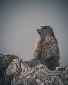 Franz Sussbauer, a marmot on the watch (Italy, Europe)