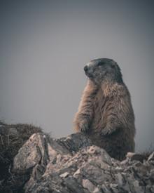Ein Murmeltier hält Ausschau - fotokunst von Franz Sussbauer