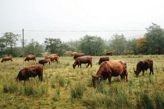 Franziska Söhner, Cows, Scotland (2017) (Großbritannien, Europa)