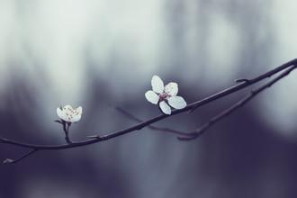Nadja Jacke, Zarte Blüten des Schlehdorn (Deutschland, Europa)