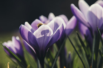 Nadja Jacke, Krokusse mit Biene in der Frühlingssonne (Deutschland, Europa)