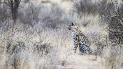 Dennis Wehrmann, Leopard Kgalagadi Transfrontier Park (Botswana, Afrika)