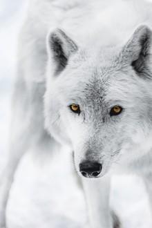 Patrick Monatsberger, Der Polarwolf (Deutschland, Europa)