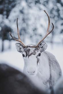 Patrick Monatsberger, Reindeer Cub (Finland, Europe)