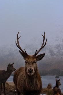 Martin Rau, Bambi der König des Waldes (Großbritannien, Europa)