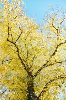 Nadja Jacke, gelb leuchtendes Herbstlaub vor strahlend blauem Himmel (Deutschland, Europa)