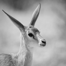 Dennis Wehrmann, Springbock Baby Kalahari Transfrontier Park (Botswana, Africa)