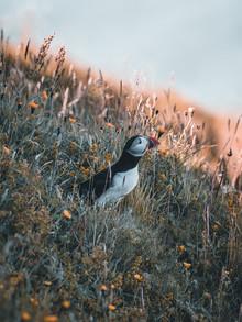 Daniel Weissenhorn, Puffin in the flowers (Iceland, Europe)