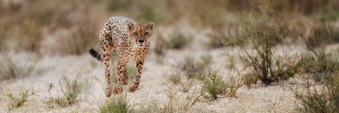 Dennis Wehrmann, Gepardenjagd (Botswana, Afrika)
