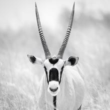 Dennis Wehrmann, Oryx (Botswana, Africa)