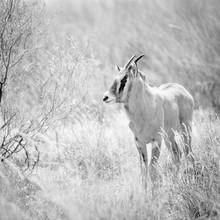 Dennis Wehrmann, Oryx baby (Südafrika, Afrika)