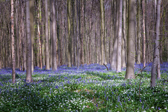 Oona Kallanmaa, Bluebells of the spring (Belgien, Europa)