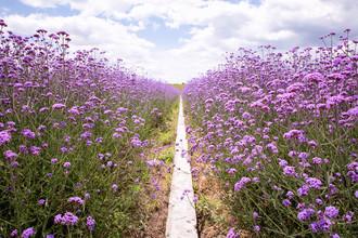 Oona Kallanmaa, Purple flower field (China, Asia)