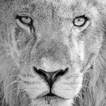 Dennis Wehrmann, the eye of the lion (Botswana, Africa)