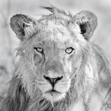 Dennis Wehrmann, In the focus of the lion (Botswana, Africa)