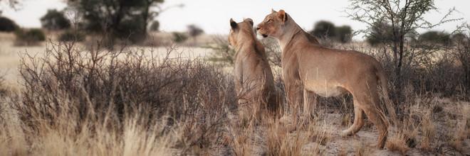Dennis Wehrmann, Lions watching fro prey (Botswana, Africa)