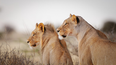 Dennis Wehrmann, Lions search for prey in the Kgalagadi Transfrontier Park (Botswana, Africa)