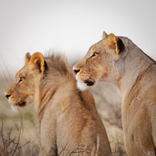 Dennis Wehrmann, Lions searching for prey in the Kgalagadi Transfrontier Park (Botswana, Africa)