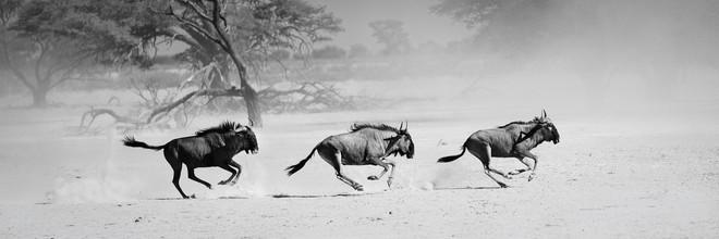 Dennis Wehrmann, Gnu`s außer Rand und Band (Botswana, Afrika)