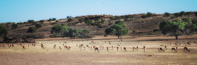 Dennis Wehrmann, Grasende Springbockherde im ausgetrockneten Auob Flußbett im Kgalagadi Transfrontier Park (Südafrika, Afrika)