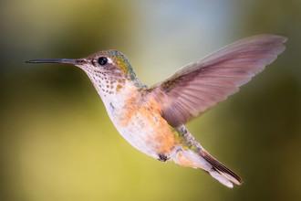 Christoph Schaarschmidt, hummingbird (Canada, North America)