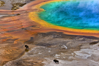 Lukas Gawenda, Bisons an der Grand Prismatic Spring im Yellowstone National Park, USA (Vereinigte Staaten, Nordamerika)
