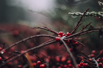 Nadja Jacke, red berries of the firethorn in the winter (Germany, Europe)