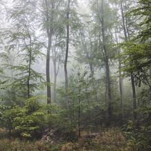Nadja Jacke, Wald im Sommer mit Nebel (Deutschland, Europa)